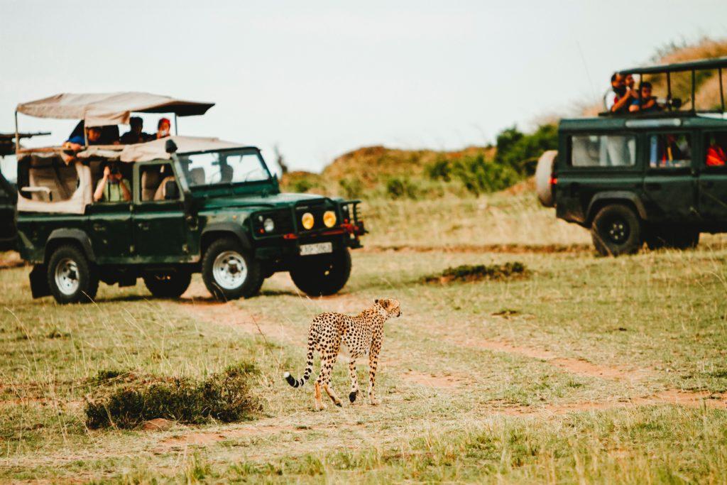 cheetah on a safari